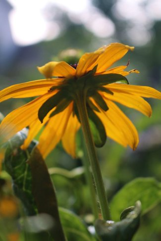 black_eyed_susan_by_elksongredfeather-d7qx6m32
